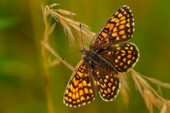 Heathfritillaryen (den Melitaea athaliaen) royaltyfria foton