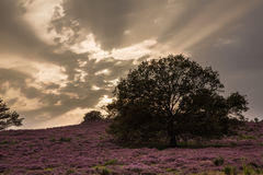 Heathland Royalty Free Stock Photography