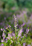 heathland Fotografia Royalty Free