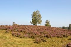 Heathland with birch Stock Images