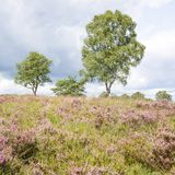 Heathland with birch trees. Stock Images