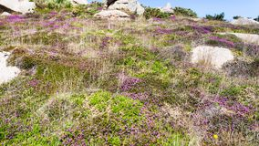 Heathland with boulders in Ploumanach site. Travel to France - heathland with boulders in Ploumanac'h site of Perros-Guirec commune on Pink Granite Coast of Stock Photos