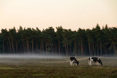 Heathland cows Stock Image