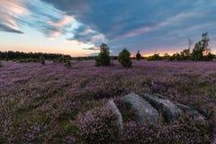 Heathland with flowering common heather Calluna vulgaris in the Lueneburg Heath in Lower Saxony, Germany Royalty Free Stock Images