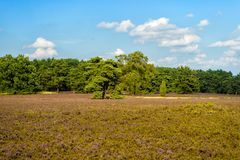 Heathland with flowering common heather Stock Photo