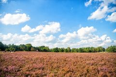 Heathland with flowering common heather Royalty Free Stock Photography