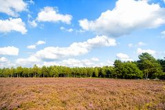 Heathland with flowering common heather Stock Image