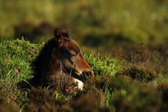 Heathland Foal. Royalty Free Stock Image