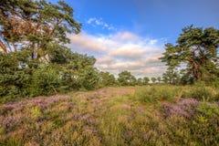 Heathland i naturreserven Stroothuizen royaltyfria bilder