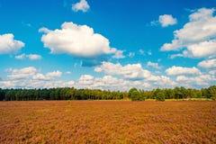 Heathland med gemensam ljung för blomning royaltyfria foton