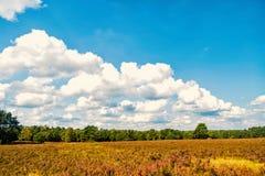 Heathland med gemensam ljung för blomning royaltyfria bilder