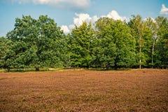 Heathland med gemensam ljung för blomning arkivfoton