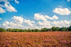 Heathland med gemensam ljung för blomning arkivbilder