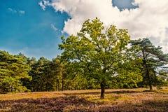 Heathland med gemensam ljung för blomning arkivbild