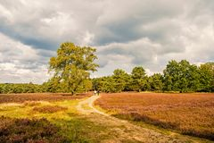 Heathland med gemensam ljung för blomning royaltyfri foto