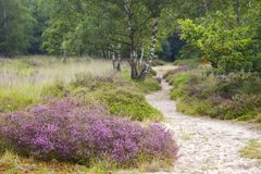 Heathland in National Park Maasduinen, Netherlands stock photo