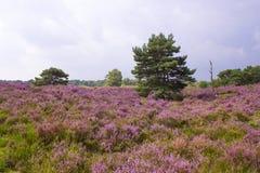 Heathland in National Park Maasduinen, Netherlands. Heathland in National Park Maasduinen in the Netherlands Stock Images