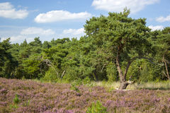 Heathland in National Park Maasduinen Stock Photo