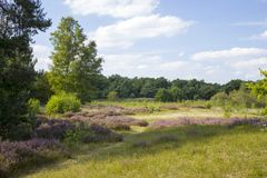 Heathland in National Park Maasduinen, Netherlands Royalty Free Stock Photo