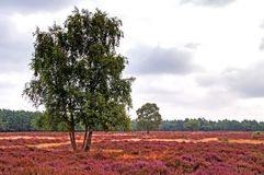 Heathland in the Netherlands Royalty Free Stock Photos