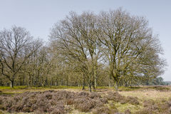 Heathland with oak trees. Stock Image