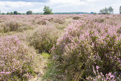 Heathland with pine trees. Royalty Free Stock Photos