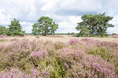 Heathland with pine trees. Royalty Free Stock Photography