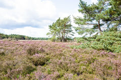 Heathland with pine trees. Stock Photo