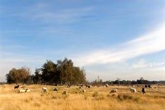 Heathland with sheep. Sheep herding on yellow and brown heathland Royalty Free Stock Photos