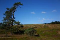 Heathland in the summer. Heathland and pines at summer in Denmark Stock Photos