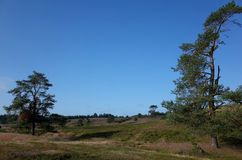 Heathland in the summer. Heathland and pines at summer in Denmark Stock Image