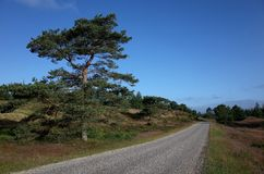Heathland in the summer. Heathland and pines at summer in Denmark Stock Photography