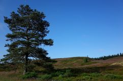 Heathland in the summer. Heathland and pines at summer in Denmark Royalty Free Stock Images