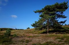 Heathland in the summer. Heathland and pines at summer in Denmark Royalty Free Stock Photo