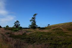 Heathland in the summer. Heathland and pines at summer in Denmark Stock Images
