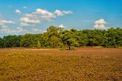 Heathland z kwiatonośnym pospolitym wrzosem fotografia royalty free