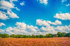 Heathland z kwiatonośnym pospolitym wrzosem zdjęcia stock