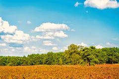 Heathland z kwiatonośnym pospolitym wrzosem zdjęcia royalty free