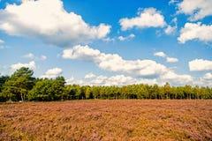 Heathland z kwiatonośnym pospolitym wrzosem fotografia stock