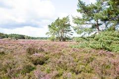 Heathlanden med sörjer träd Arkivfoto