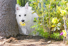 Heathy happy westie in the garden stealing flowers Royalty Free Stock Photography