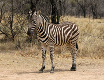 Heathy and proud Zebra Stock Photography