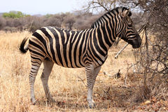 Heathy and proud Zebra Stock Photos