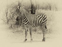 Heathy and proud Zebra. Sepia image. Royalty Free Stock Photo