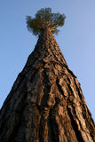 Into the Heaven. Look into the tree-top of pine Royalty Free Stock Photos