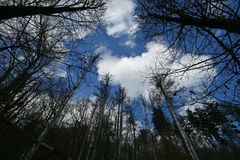 Heaven. Tall trees reaching to the sky Stock Image