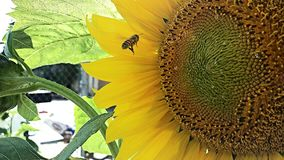 Heaven. Bee flying into huge sunflower Royalty Free Stock Photos