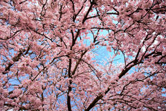 Heaven of blossoms Royalty Free Stock Images