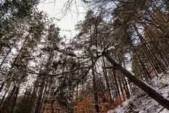 Between Heaven and Earth. In the Winter Forest. The trees confidently go up to the sky royalty free stock image