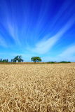 Between heaven and earth. Summer landscape shot of a wheat field, fruit garden and bright cloudy sky Royalty Free Stock Photo